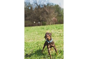 cute russian toy terrier dog bark