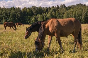 group of chestnut horses graze in a