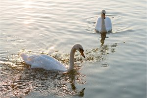 white swans and on the summer lake