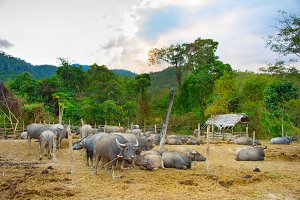 Herd of domestic buffalo Thailand