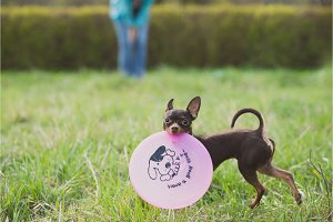 cute russian toy terrier dog holding