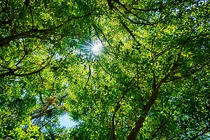 Green Leaves Background w Sunburst