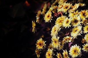 Yellow autumn chrysanthemums on a da