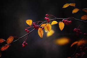 Branch with red berries and yellow l