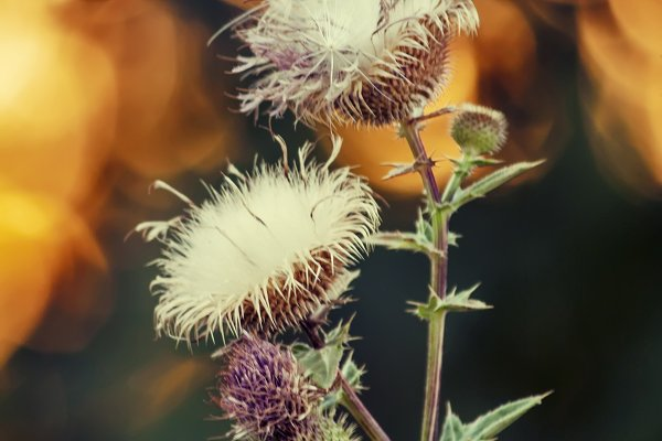 Stock Photos: 5PH - Steppe Russian thistle plant Silybum