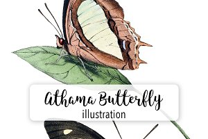 Bugs: Athama Butterfly