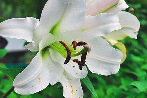 white lily after rain photo closeup