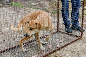 Street dog in transport cage.