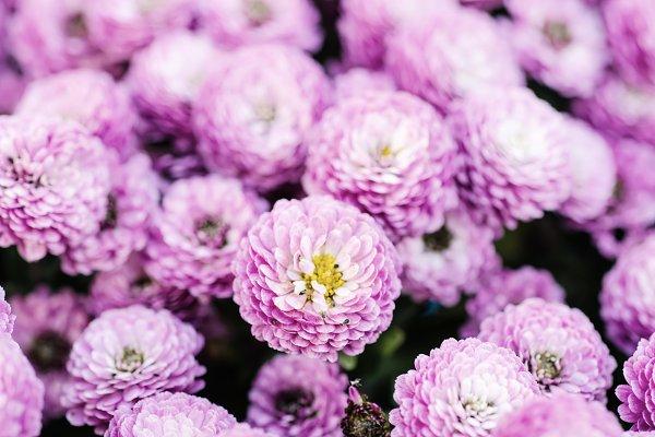 Stock Photos: Nature and travel - Chrysanthemum macro flowers