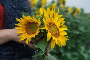 Sunflower in hands of girl