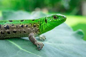 Green lizard in the grass