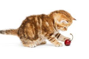 British  kitten and  cherry