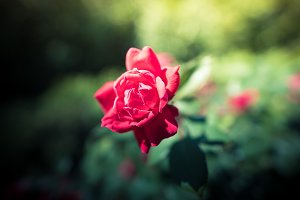 Red rose on a rosebush