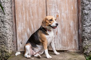 Portrait of cute female beagle dog.