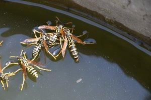 Wasps Polistes drink water. Wasps