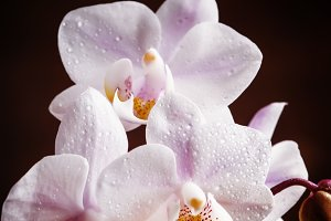 White and pink blooming orchid on a