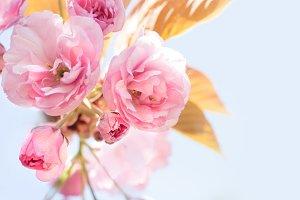 Pink sakura flower.