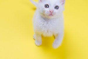 white kitten on a yellow background