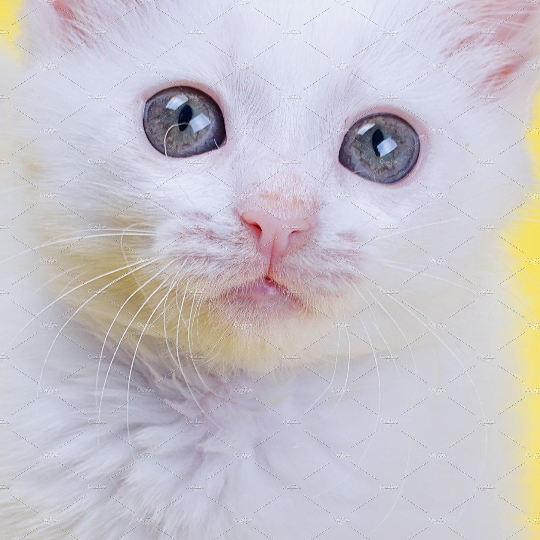 efccd50e75 White Turkish Angora kitten closeup ~ Animal Photos ~ Creative Market