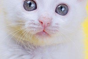 White Turkish Angora kitten closeup