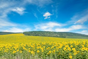 Bright sunflower field and blue sky.