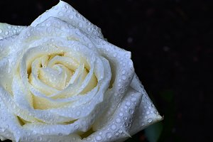 white rose with waterdrops