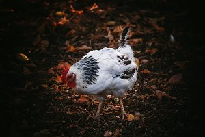 Rooster, dark background, low key, s