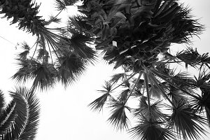 Black and white palm tree background