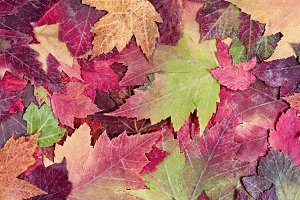 Autumn rustic colorful maple leaves