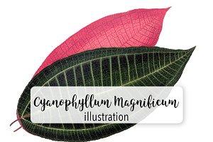 Leaves: Cyanophyllum Magnificum