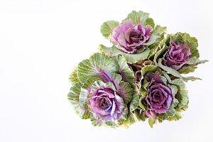 Ornamental Kale 2 - Stock Photo