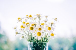 Chamomile daisy flowers in vase