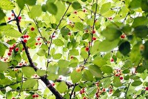 Under cherry tree