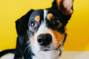 Happy shepard dog, yellow background