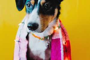 Dog with light garland, yellow wall