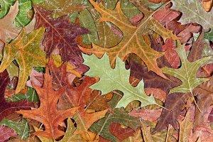 Autumn rustic colorful oak leaves
