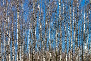 Young birches against the blue sky.