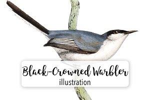 Birds: Black-Crowned Warbler