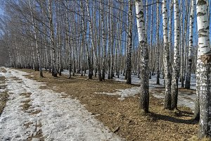 The edge of a birch grove in spring