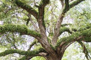 NOLA oak