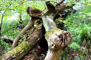 Falling Tree Trunk and Blue Bells