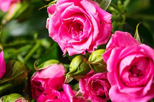 Pink roses on brown background