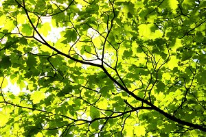 Spring Maple Leaves Maple Canopy