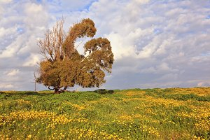 Spring field, blooming yellow flower