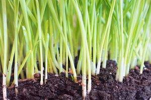 Green grass in soil