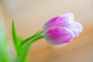 Delicate pink tulip on soft backgrou