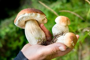 Edible fresh mushrooms in a hand