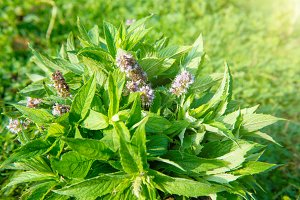 Blossom green mint leaves