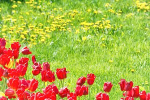Red tulips on the field
