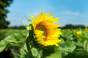 sunflowers color background yellow